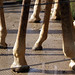 Whole lotta hooves