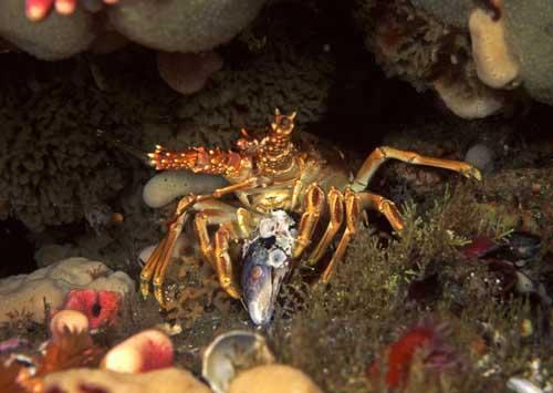 Cape lobster eating mussel | underwater, marine creatures Ca… | Flickr