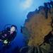 Elephant Ear Sponge - Hogsty Reef 1991