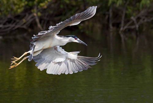 Night heron in flight - photo#41