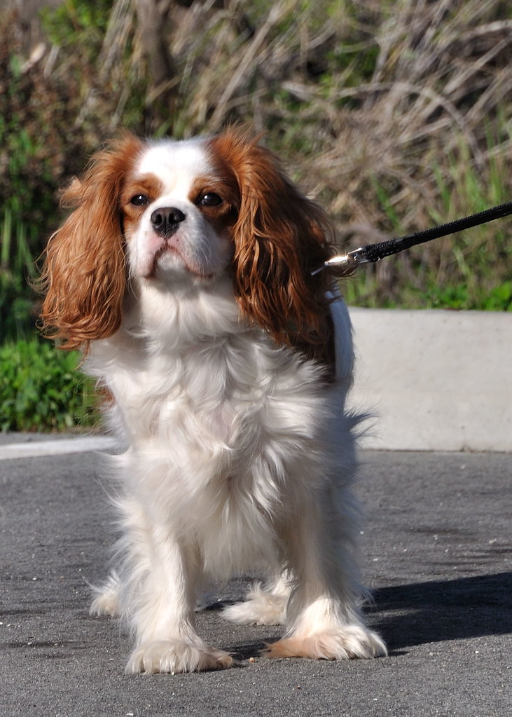 Image Result For Cavalier King Charles