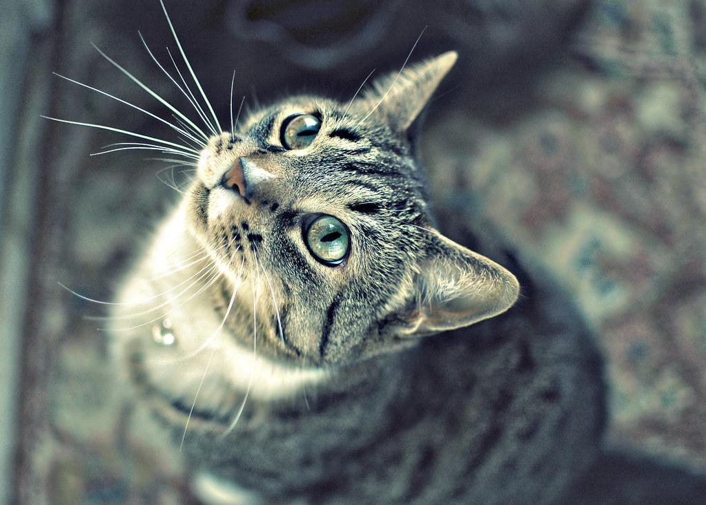 Dark Grey Cat Blue Eyes