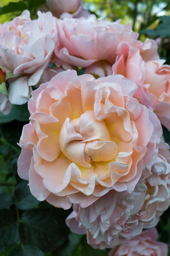 rose marie curie meilland 1996 jardin des plantes g. Black Bedroom Furniture Sets. Home Design Ideas
