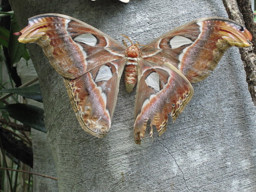 Atlas Moth | by slappytheseal