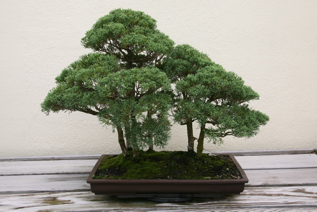 how to grow neem tree bonsai