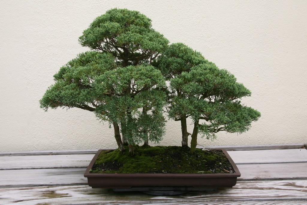Chinese Juniper Juniperus Chinensis Blaauw In