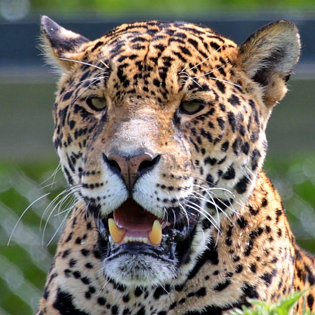 Jaguar Head: Menancing Jaguar CHESTER ZOO
