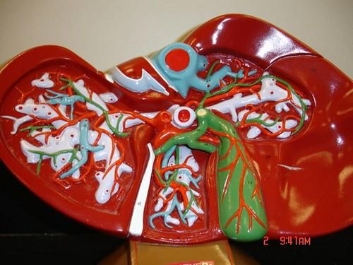 Liver Model images