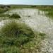 Inundation area Noordslufter with Carex extensa, Glaux maritima & Bolboschoenus maritimus