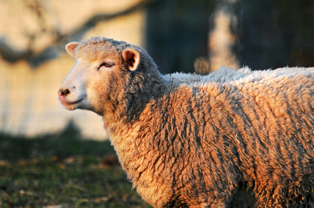 Profile of a sheep | Another sheep picture, also in the ...