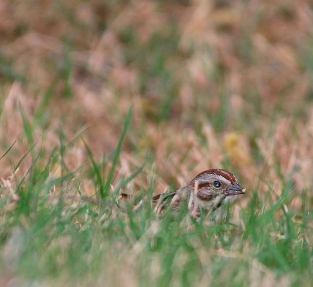Song Sparrow Backyard Suwanee Ga 04 19 2009 Karis