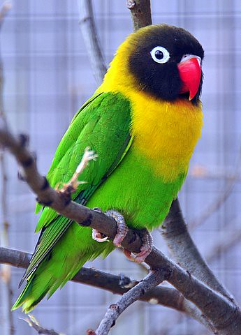I love birds ! | Masked Lovebird ( Agapornis personata) I ...
