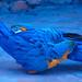 A arara-azul-grande (Anodorhynchus hyacinthinus)