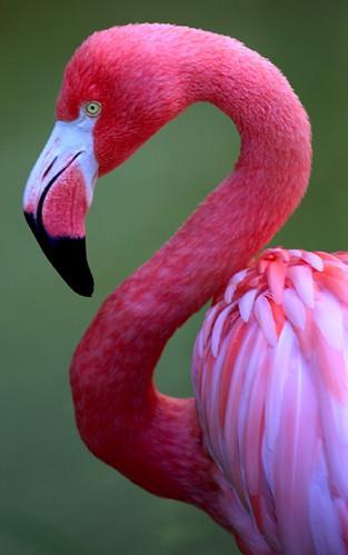 pink flamingo 1 birds - photo #42
