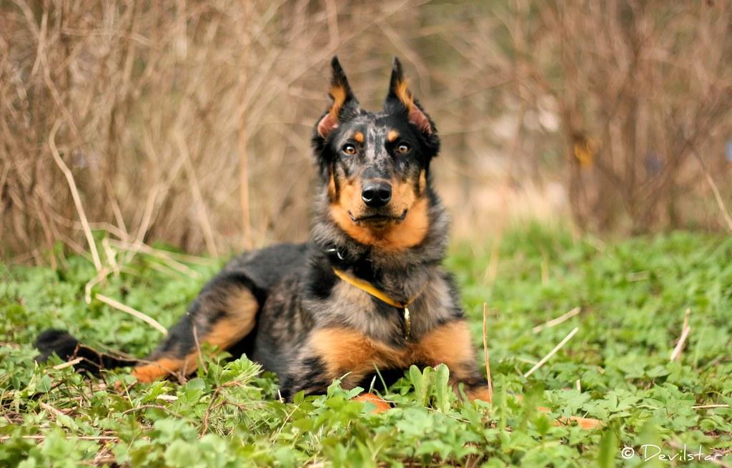 Beauceron Dog For Sale