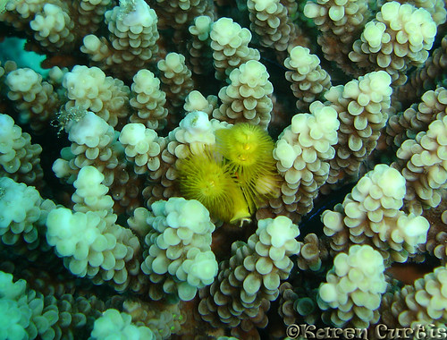 Christmas Tree Worm | by phrixus nyx