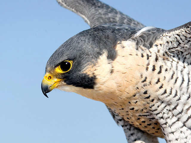 Peregrine Falcon Wallpaper Peregrine Falcon Falco