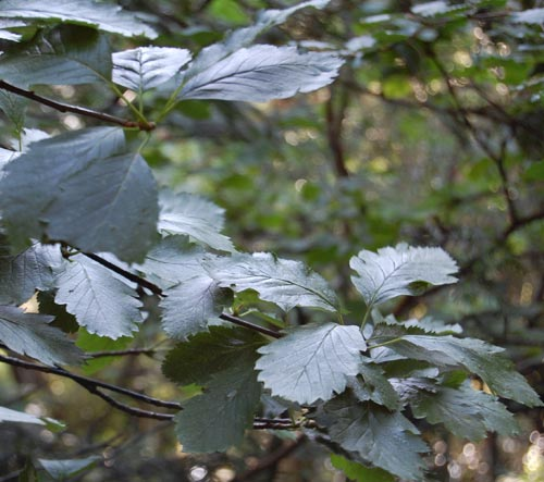 Maura Scannells Whitebeam | by MuseumWales