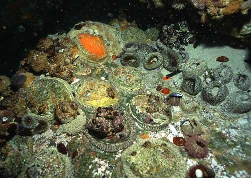 group of colourful perlemoen-abalone | marine organisms ...