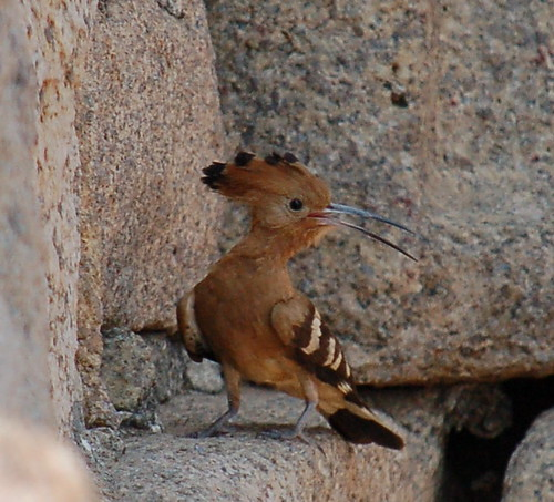 Hoopoe (upupa epops) | by Sean Paul Kelley