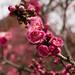 Kitano Tenmangu Plum Blossoms