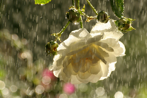 white roses in the rain