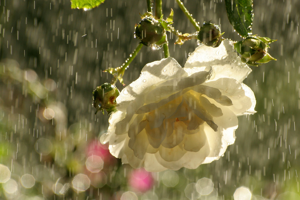 White Roses In The Rain Our White Rose Bush Has Just