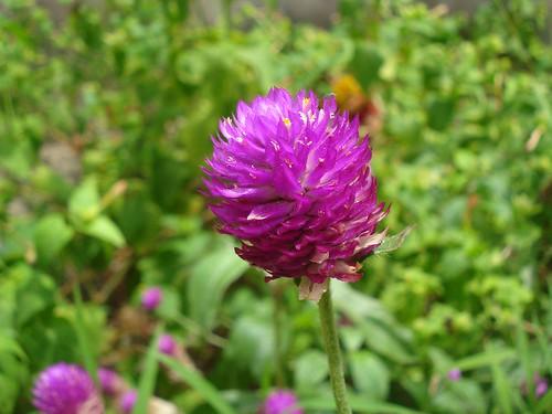 Vadamalli Flower Bachelor S Button Flower Flickr