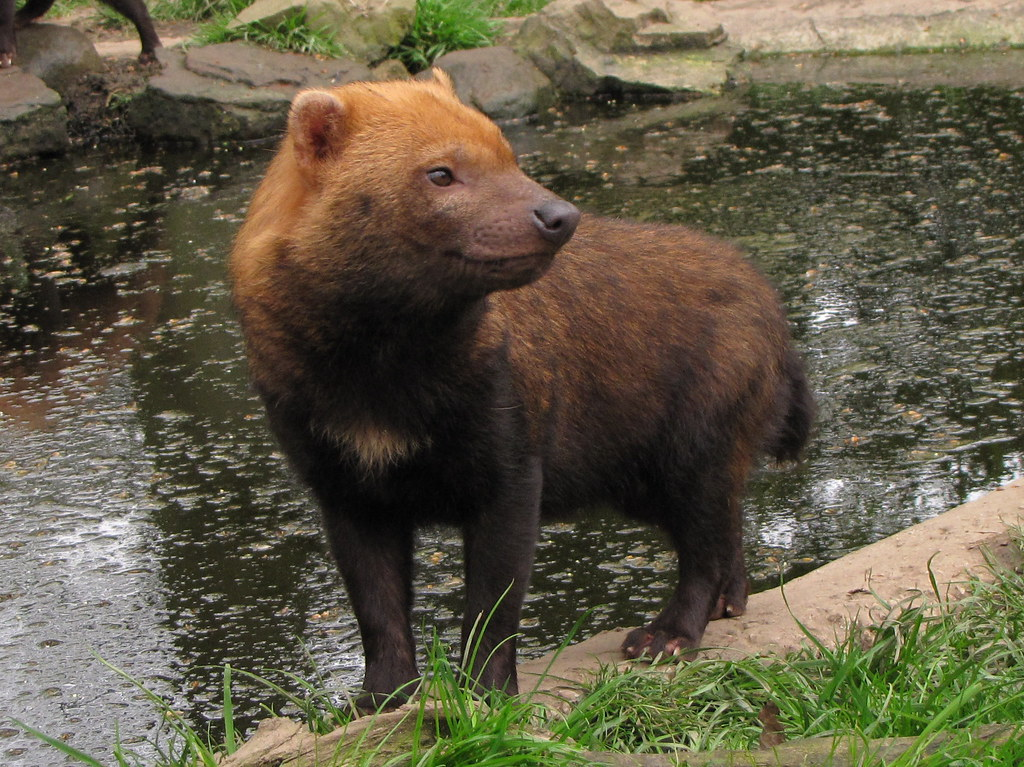 Bush dog pet