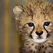 Amara, the baby cheetah