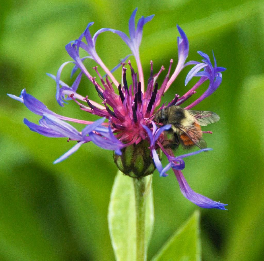 Bee On Wildflower, Ocean Falls, BC