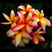 Hawaiian Flowers - The Plumeria Tahitian Rainbow