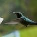 Humming bird - Standing still