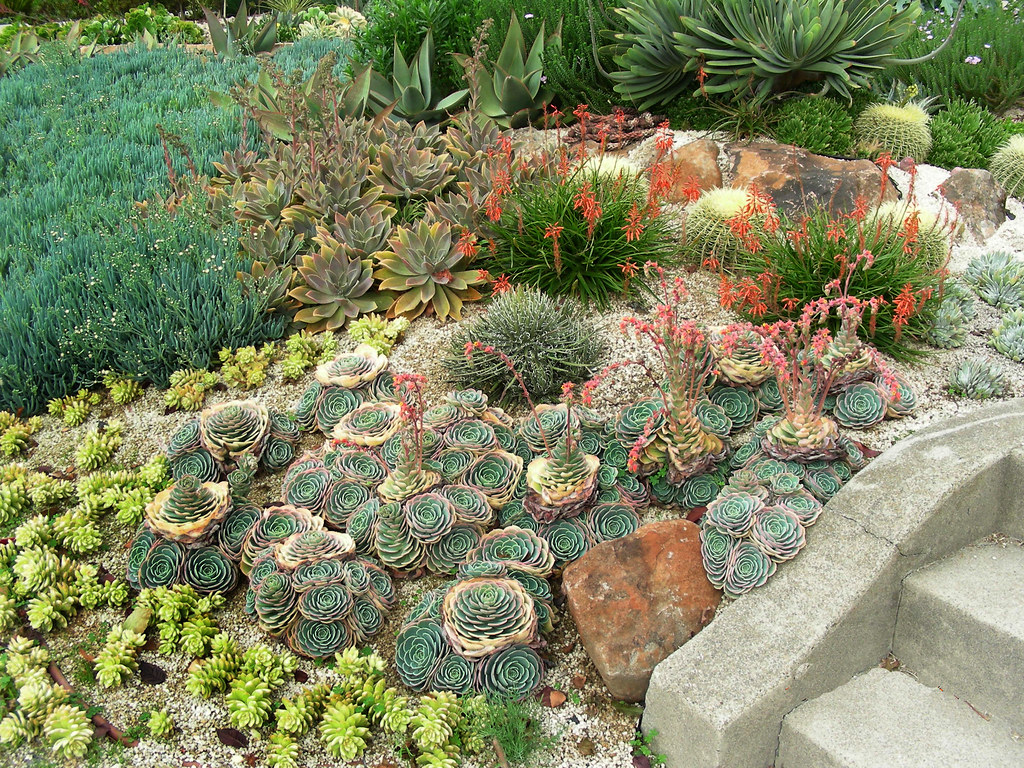 Cactus succulent garden massed plantings of senecio for Garden design using succulents