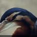 Purple Heron (Ardea purpurea manilensis)