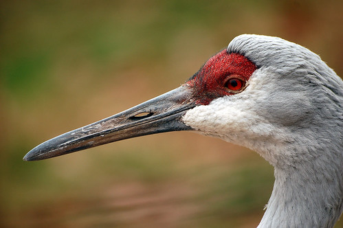 Sandhill Crane | by digitalART2