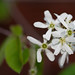 Juneberry flowers