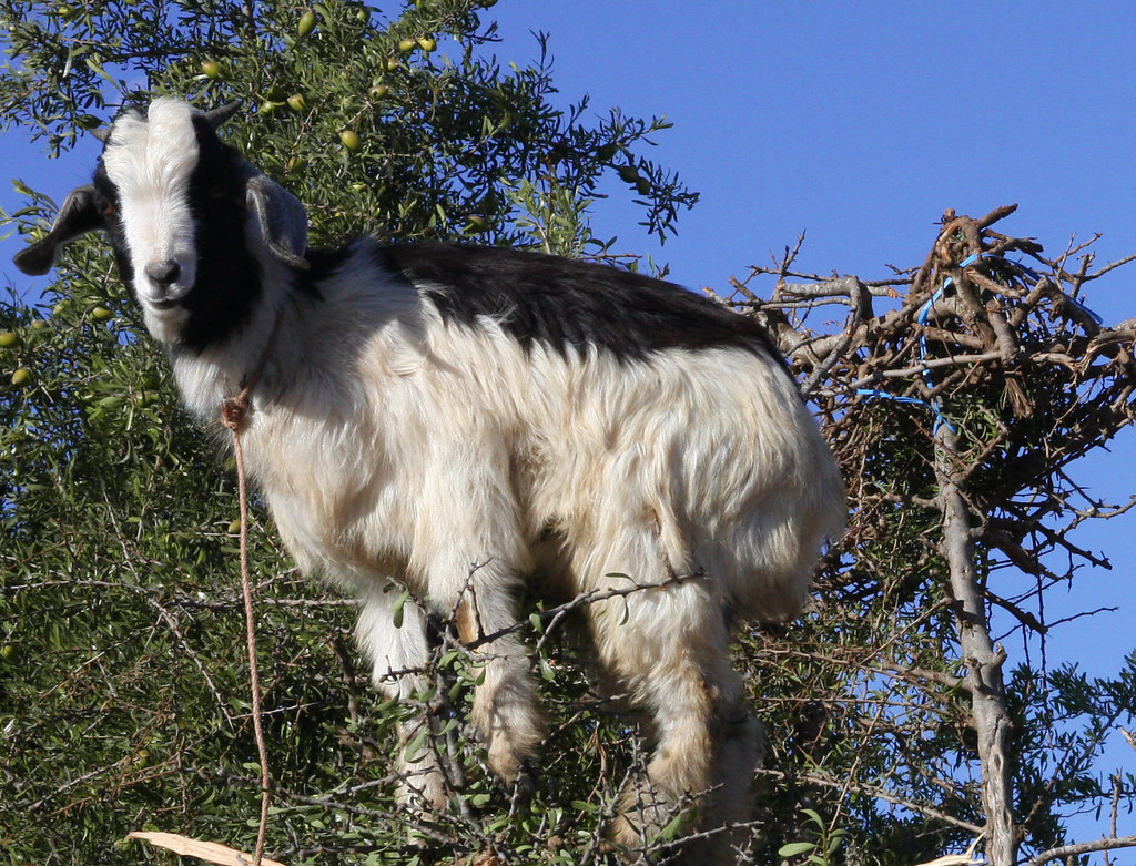 R Goats Moroccan Tree Climbing...