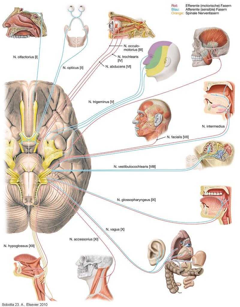 Hirnnervern (Nn_craniales) | Sobotta Atlas der Anatomie des Menschen ...