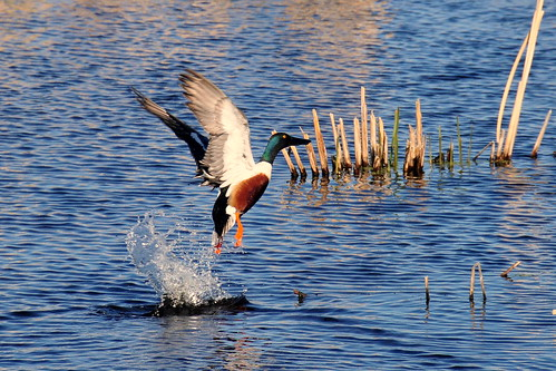 Northern shoveler taking flight Sand Lake National Wildlife Refuge | by USFWS Headquarters