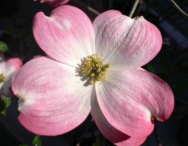 Cornus Florida Rubra Flower Pink Flowering Dogwood Flickr