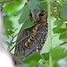 Flammulated Owl (Otus flammeolus)