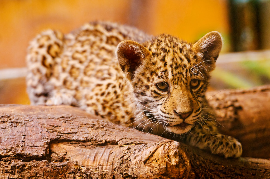 Adorable Jaguar Cub The Main Attraction In The