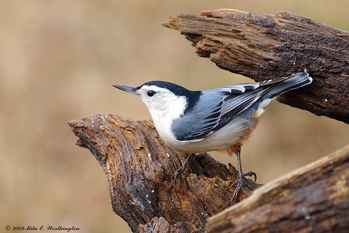 White-breasted Nuthatch | by mworthi245