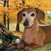 "Ellie, Miss November 2009 ""Rescue Dachshund"""