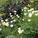 Angelica stricta 'Purpurea' with Cal Poppy 'Alba'