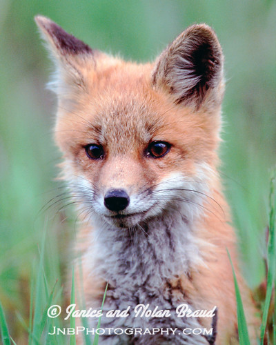 Red Fox Kit | by JaniceNolan_braud