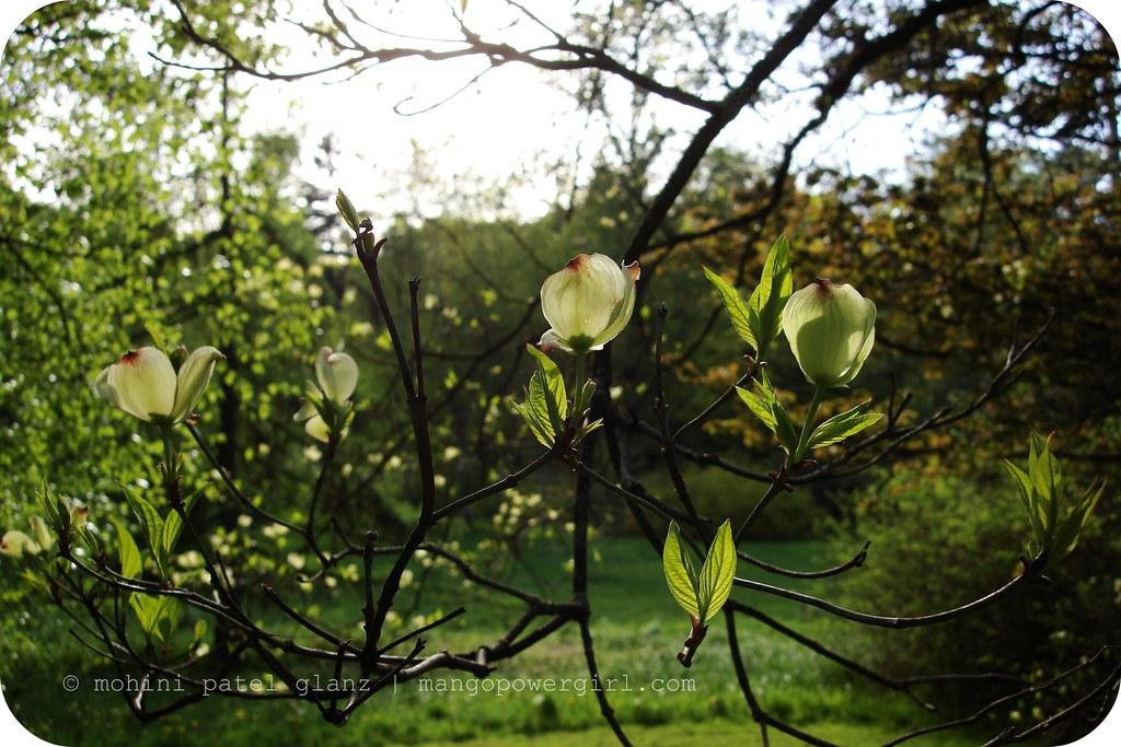 Dogwood Tree in Spring time arboretum