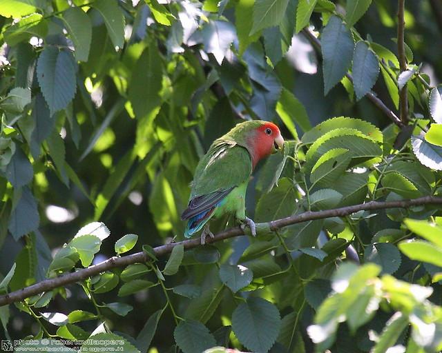 Colonia di parrocchetti in riva al fiume stura! - parakeets colony on