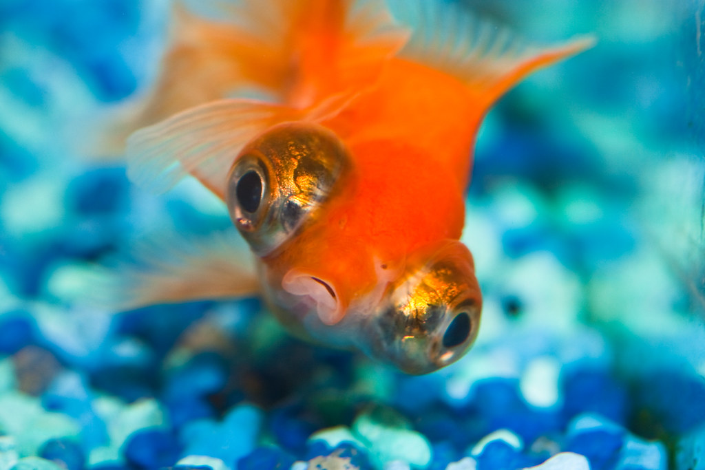 Contented | Lippy rolled around the aquarium to show how ...